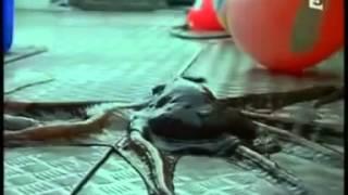 Les Mystères De La Pieuvre Documentaire Complet 2014 VF YouTube Documentaire Francais Com
