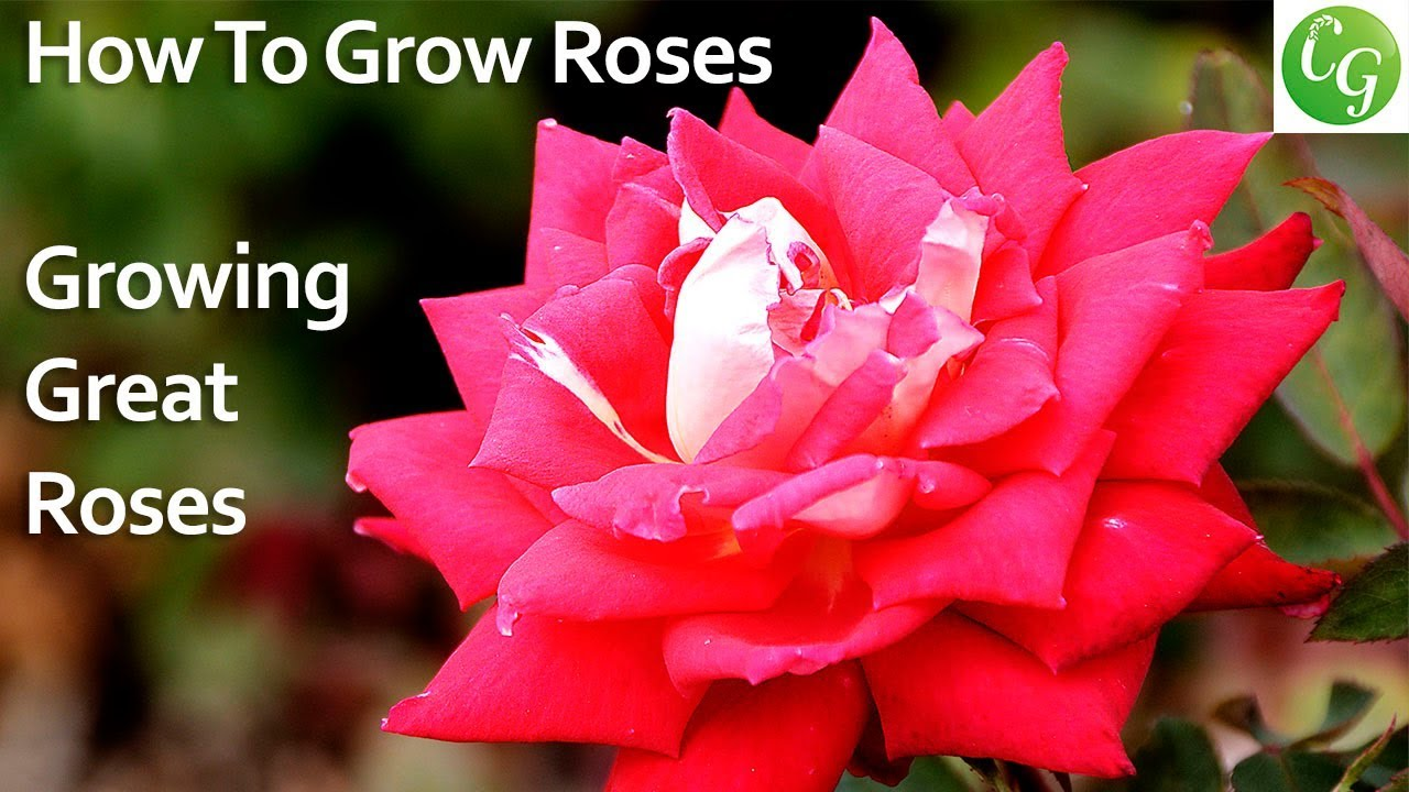 How To Grow Roses Growing Great Looking Roses In Your Garden