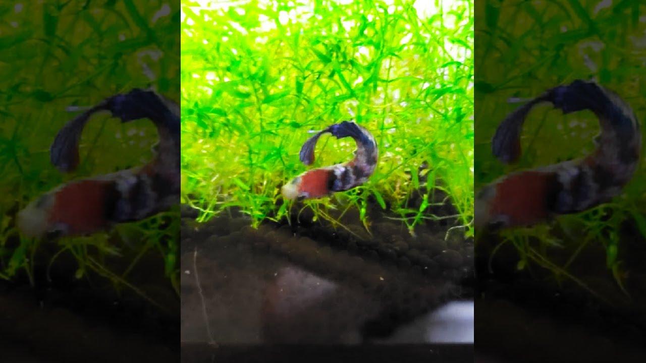 My Betta Fish thinks she's a kuhli loach