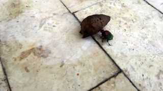 Colorful dung beetle rolling my dogs poo.