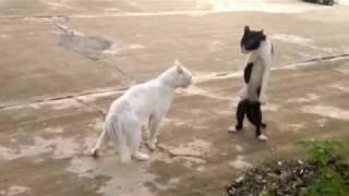 Коты ходят на задних лапах :)