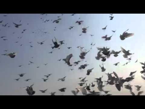 Kabutar bazi in india