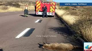 Arrollan a Puma y lo abandonan en carretera de Aguascalientes Video