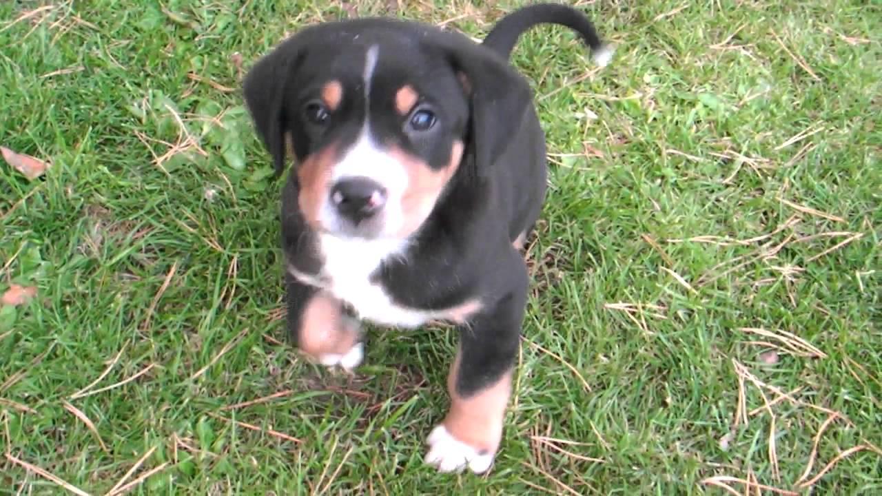 Grosse Schweizer Sennenhunde Welpen 6 Wochen Alt Youtube