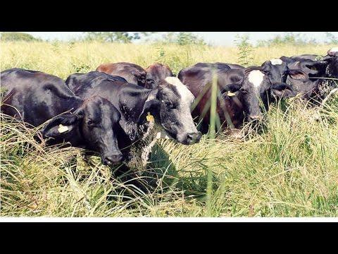 Curso Vacas Meio Sangue para Produção de Leite