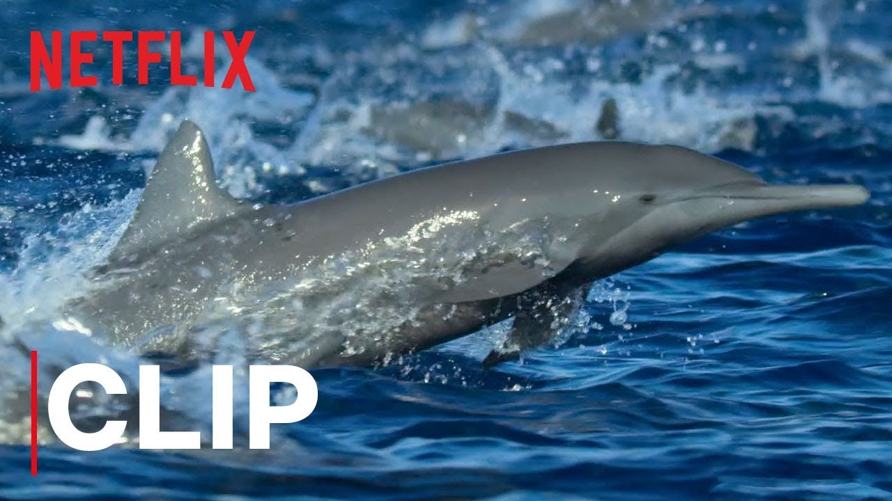Our Planet Spinner Dolphins Clip Netflix Youtube
