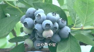 菜園だより140620−21ブルーベリー収穫