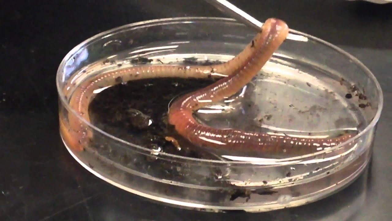 Video Of Earthworm External Parts Youtube