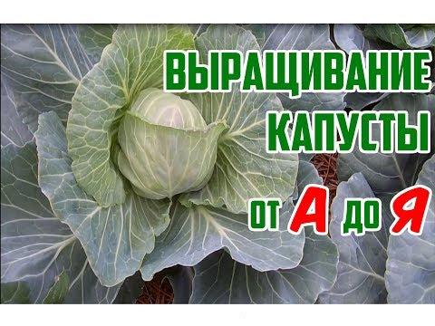 Как выращивать капусту в открытом грунте