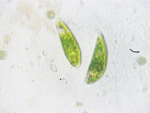 Hai con trùng roi xanh