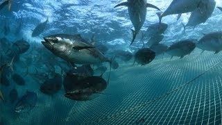 """""""Bluefin on the Line"""" Trailer"""