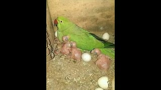 Budgies eggs hatching time