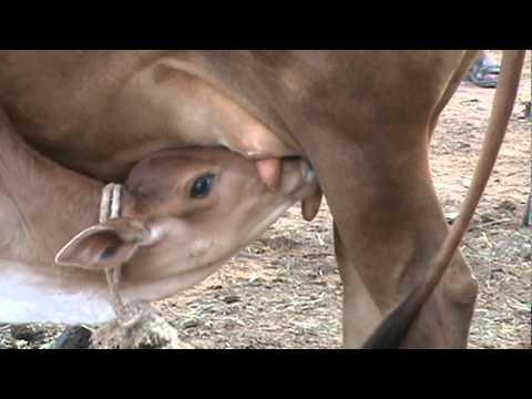 Rajana child cow with mom