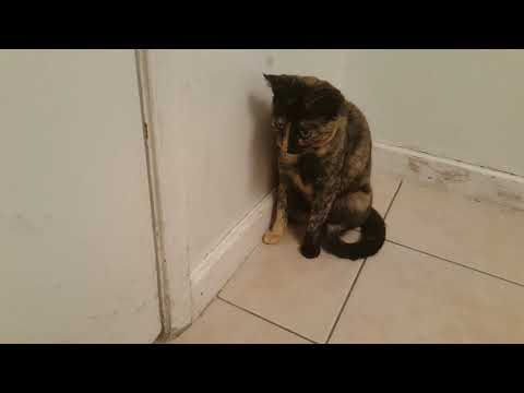 How to make your cat throw up if she eats a string (deadly) part 1of 2