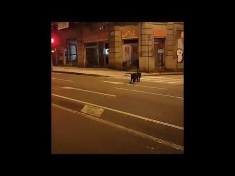 El vídeo viral de dos jabalís paseando por el centro de Ourense