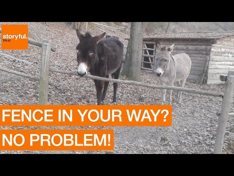 Clever Donkey Finds Smarter Way to Get to Other Side of Fence (Storyful, Animals)