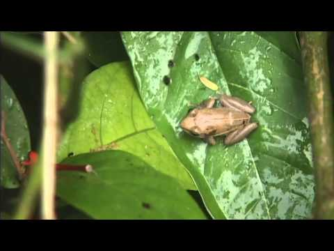 Coqui frogs given rare sanctuary on Hawaii Island