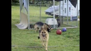 German Shepherd Puppies For Sale! Koehlerhaus Gsd's