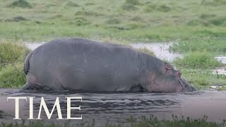 Tourist Killed, Another Injured In Kenya Hippo Attack | TIME
