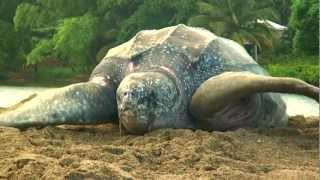 Sea Turtle Nesting Video