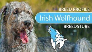Irish Wolfhound Breed, Temperament & Training
