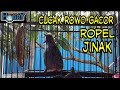 Cucak Rowo Jantan Gacor Ropel Jinak Full Hd  Mp3 - Mp4 Download