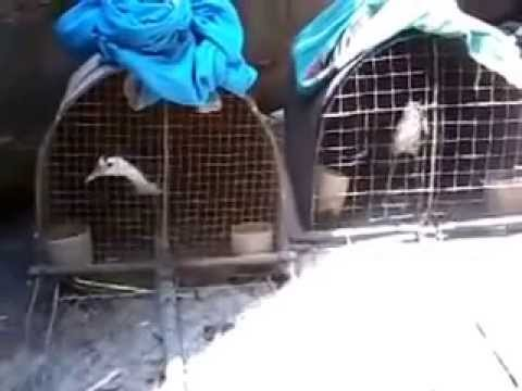 suara Burung Ruwak/Baburak Kalimantan tengah (Delang) MP4