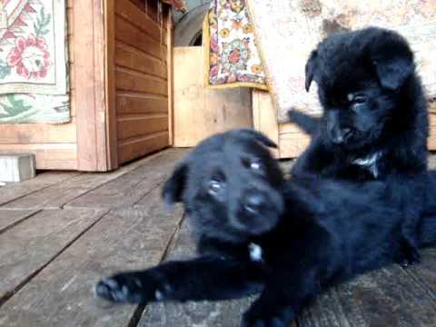 черная немецкая овчарка щенки 1 месяц