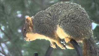 [hd] Squirrel Tries To Outsmart Droll Yankee Bird Feeder