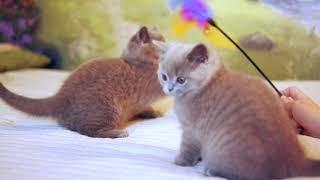 Британские котята в возрасте 10 недель (Litter-G2)