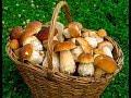 КОСИМ БЕЛЫЕ ГРИБЫ И БОРОВИКИ!!! В лесу массово растут грибы!