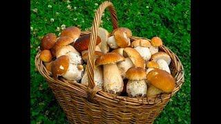 КОСИМ БЕЛЫЕ ГРИБЫ И БОРОВИКИ!!! В лесу массово растут грибы! A lot of Mushrooms in the Woods