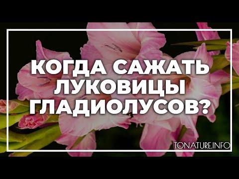 Когда сажать луковицы гладиолусов? | toNature.Info