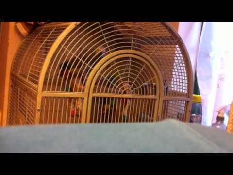 Talking African Grey Parrot Muslim