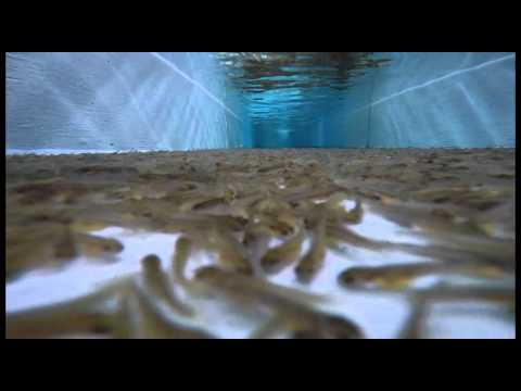 PA Rainbow Trout Spawning 2015