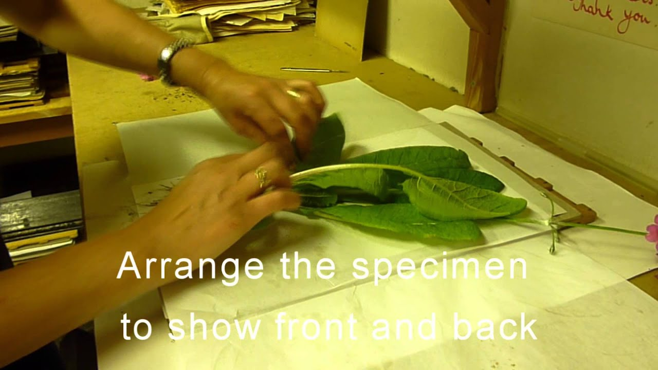 Rbge Herbarium Basic Plant Collecting And Pressing