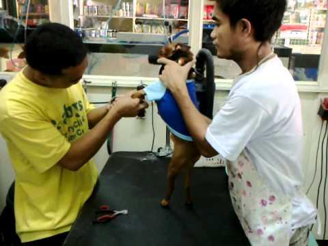 Mini Pinscher Jordan cutting His nails