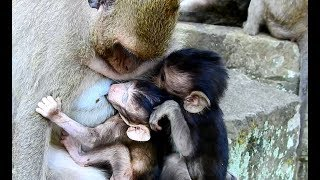 WOW Surprise! Never see!! Brutus JR Is luckily than other baby monkey can get milk kidnapper.