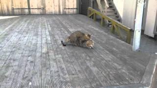 Открытие сезона в Юрмале у котов )) cat sex jurmala 2016