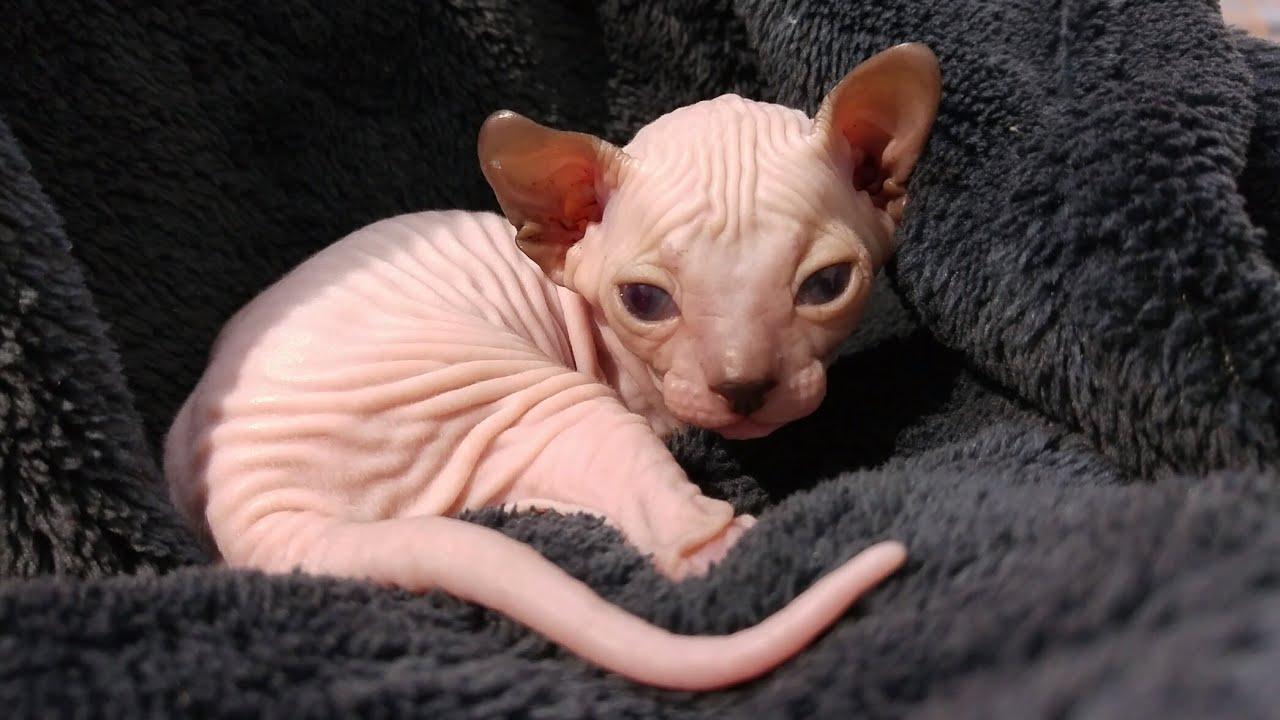 This baby, sphynx kitten girl will melt your heart / DonSphynx /