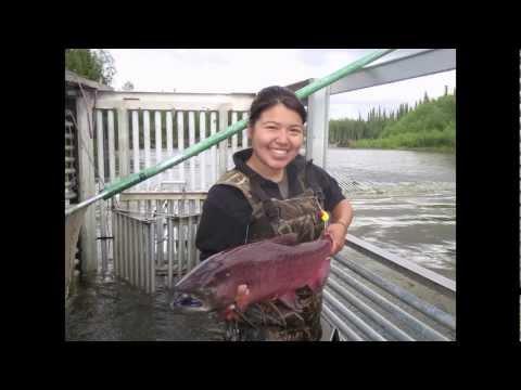 Studying Salmon At The Gisasa River In Alaska