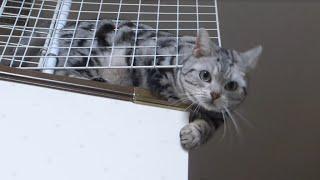 母ちゃんが帰ってキター!!! うれしすぎて母ちゃんドン引き危ない猫- Too cute cat exiting when Mom comes back home thumbnail