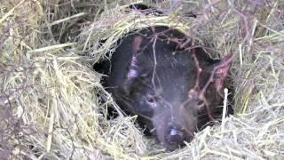 Сумчатый дьявол Tasmanian Devil