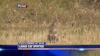 Sneaky House Cat Interrupts Live News Report About Big Cat Sighting
