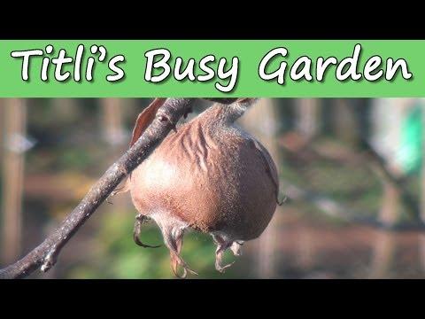 Medlar Fruit - A Titli's Busy Garden Special