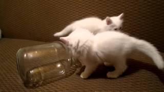 Смешные  белые коты