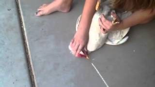 How to hypnotize a chicken by drawing a chalk line