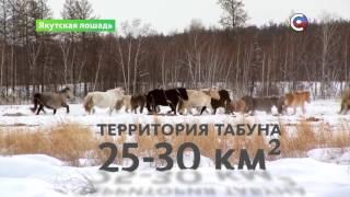 """Якутская лошадь   Природа   Телеканал """"Страна"""""""