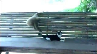 Смешная битва обезьянки и кошки!Просто крутой бой!
