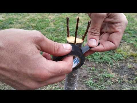 прививка абрикоса простой проверенный способ. grafting tree